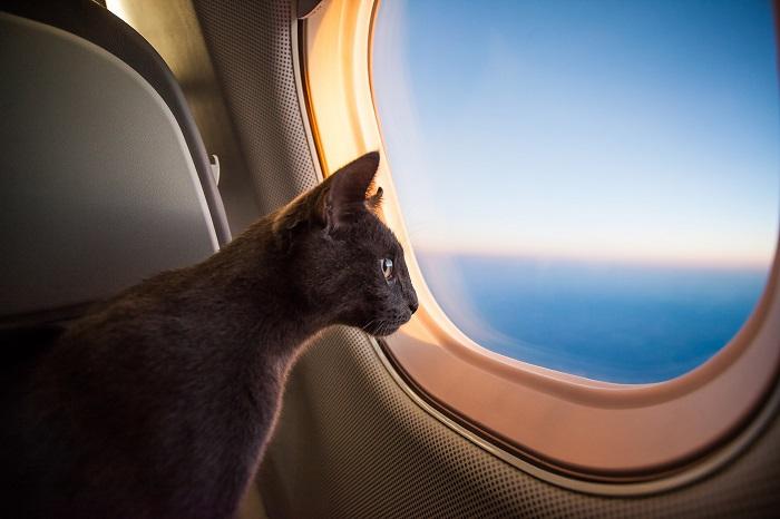 cat on jet